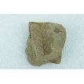 樹葉自然化石(落葉樹)