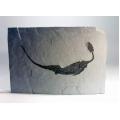 小型爬蟲類化石複製品