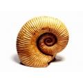菊石化石複製品